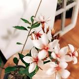 샤린마이(꽃이 너무 아름다운) 