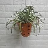 가피타타 토분 공기정화식물|