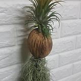 드루이드 코코넛 수염틸란드시아(대형)|Tillandsia