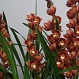 심비디움 1174.진한황금주황색.은은향기(아주좋은향).잎촉많은 상품.