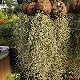 틸란드시아/수염틸란드시아/이오난사/코코넛/공기정화식물/60-70cm
