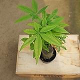 파키라/공기정화식물/30-40cm
