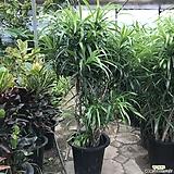 자바(특이나무식물,선물용도) 