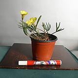 노랑바람개비사랑초 