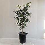 동백나무(블랙로즈)/공기정화식물/인테리어/반려식물