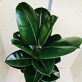 거실에 두면 효과 좋은 고무나무 인도고무나무 공기정화식물|Ficus elastica