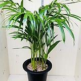 공기정화식물의 제왕 아레카야자 야자 실내식물 음지식물|