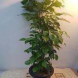 녹보수(대박나무) 파격적인가격  잎이많아 공기정화최고