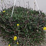 다육식물.진주목걸이.노란꽃.상태굿.촉많아요.