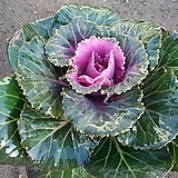 꽃배추/핑크/흰색|