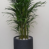 아레카야자 나무 아래카야자 (폴리롱 완성분) 대품 大|