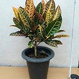 크로톤/외목대/높이60센치|Codiaeum Variegatum Blume Var Hookerianum