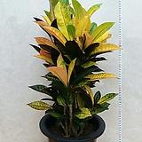 크로톤/색상이 이뻐요/높이80센치|Codiaeum Variegatum Blume Var Hookerianum