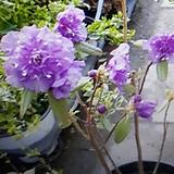 에조무라사끼(진분홍)겹꽃|