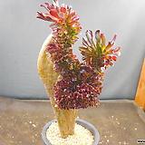 흑법사철화1027-214|Aeonium arboreum var. atropurpureum