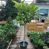 뱅갈고무나무/굵은외목대/쭉뻗은멋스러운 뱅갈/높이140센치|Ficus elastica