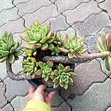 명품묵은축송10두(자연한뿌리)|Echeveria scaphophylla