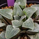 대형 명창 피그마에아(大型 明窓 pygmaea)-09-16-No.1319|Haworthia pygmaea