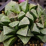 타이거피그마에아 실생(tiger pygmaea 實生)-09-16-No.1446|Haworthia pygmaea