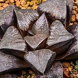 블랙쥬피터 실생(Black Jupiter 實生)-09-16-No.3123|Echeveria Juniper