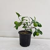 오렌지 레몬나무/열매/공기정화식물/인테리어/반려식물