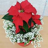 포인세티아/크리스마스꽃|Echeveria Agavoides Christmas