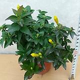 개나리자스민/노란꽃이 예쁘고 향이좋아요.|