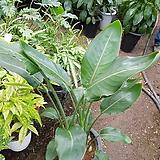 극락조 꽃피는 극락조 2대 신상사이즈약70~85cm