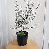 마오리 코로키아(M2) 인테리어식물|