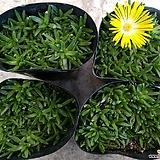 노랑송엽국(4포트) 