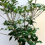 호랑가시나무(단품입니다) 