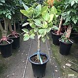 뱅갈고무나무 파릇파릇공기정화식물 Ficus elastica
