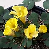 노랑사랑초(로바타)|