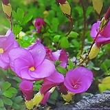 분홍애기사랑초|