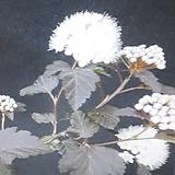 자엽국수나무(팔방성)|