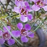 왁스플라워(중품)|Echeveria agavoides Wax