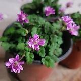 풍로초분홍미니겹꽃|