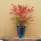 [진아플라워] 사계절 멋쟁이 남천나무  150