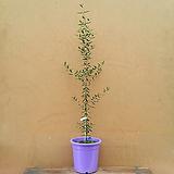 [진아플라워] 내츄럴 메이커 올리브 나무 350|