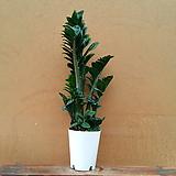 [진아플라워] 짤랑짤랑 돈나무 보석 금전수 중형 630|Zamioculcas zamiifolia