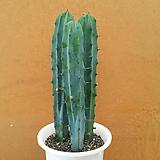 [진아플라워] 놈놈놈!!! 용신목 쓰리스타 850|Myrtillocactus geometrizans Cons