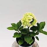 핑크수국|Hydrangea macrophylla