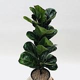 외목대 떡갈고무나무|Ficus elastica