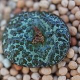 C..obcordellum ursprungianum 대흑점(大黑点) (CO59)|
