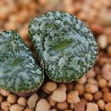 C. obcordellum ursprungianum 우르스프런기아눔 2두 (CO73)|