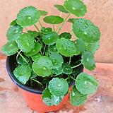 [진아플라워] 연잎닮은 수생식물 워터코인 소형 030|