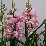 심비디움 할렐루야(진한핑크색).꽃대3대.부케용꽃.잎좋은품종.잎촉많은상품.은은한향 