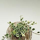 칼라아이비 무늬아이비 아이비 넝쿨식물 수경재배식물 음지식물|Heder helix