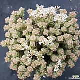희성금 Crassula Rupestris variegata