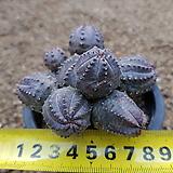 오베사 군생11-009|Baseball Plant (Euphorbia obesa)